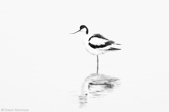 Avocet, Recurvirostra avosetta, ruffling feathers, Norfolk, May