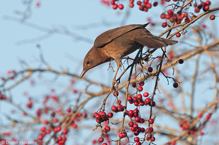 Blackbird, Turdus merula, female, feeding on hawthorn berries, hedgerow, Norfolk, Winter