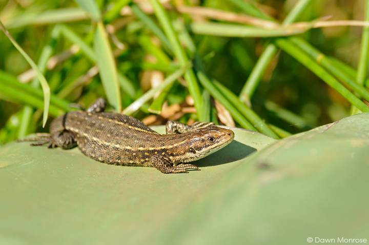 Common lizard, Zootoca vivipara, basking on corrogated iron sheet, fen, Norfolk, May