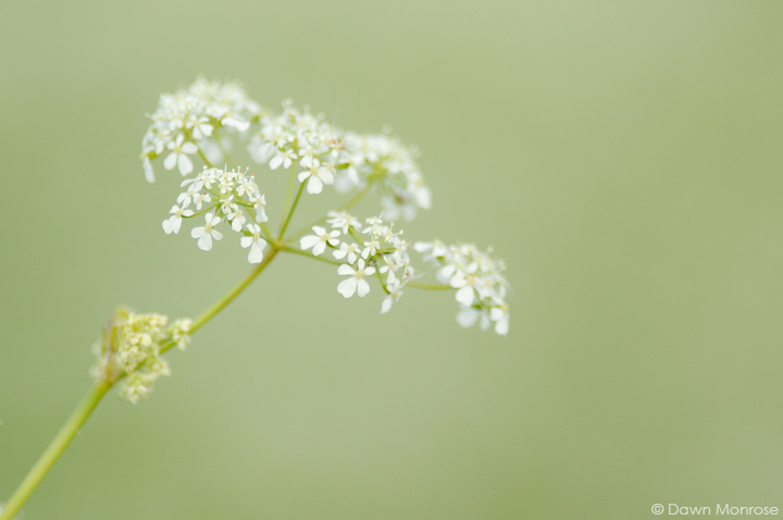 Cow Parsley, Anthriscus sylvestris, close up of flower head, Norfolk, May
