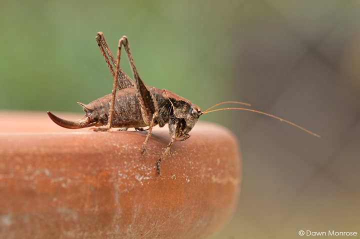 Dark bush cricket, Pholidoptera griseoaptera, on edge of plant pot, garden, Norfolk, October