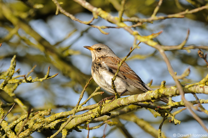 Fieldfare, Turdus pilaris, perched in hedgerow, Norfolk, January, Winter, migrant, thrush