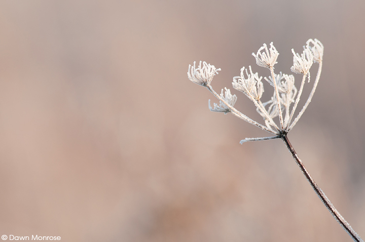 Frosted plant, Norfolk, Winter, January