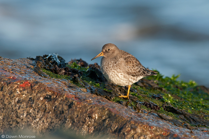 Purple Sandpiper, Calidris maritima, perched on seaweed covered rocks, Suffolk, Winter, December