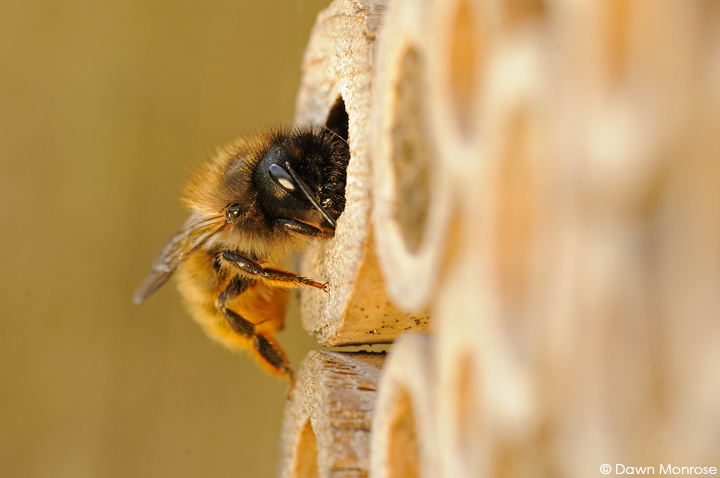 Red Mason bee, Osmia rufa, at entrance to nest hole, bee nest box, May, Norfolk
