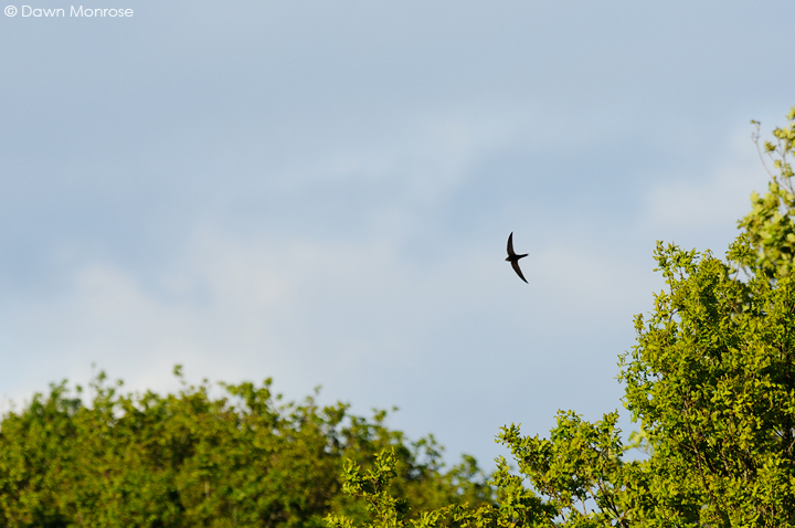 Swift, Apus apus, in flight near trees, Norfolk, May