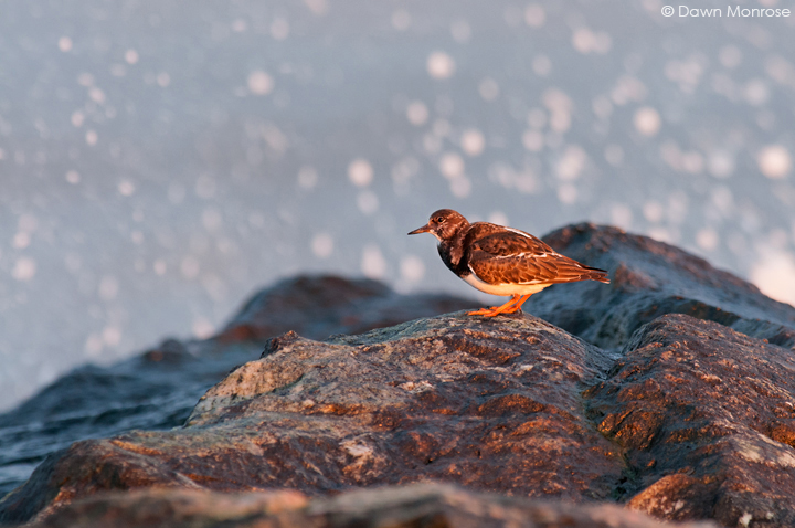 Turnstone, Arenaria interpres, perched on rocks with sea spray behind, Suffolk, Winter, December