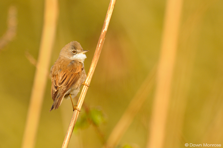 Whitethroat, Sylvia communis, perched on reed stem, Fen, Spring, May, Norfolk