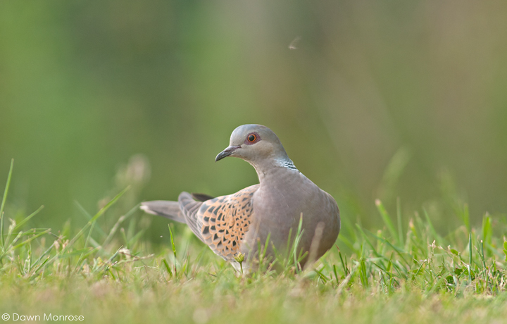 Turtle dove, Streptopelia turtur, on garden lawn