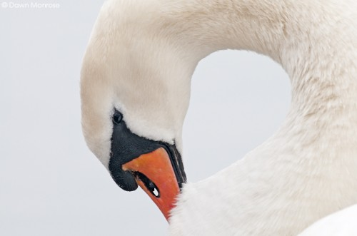 Mute Swan, Cygnus olor, adult preening, close up, graceful, Norfolk, Winter