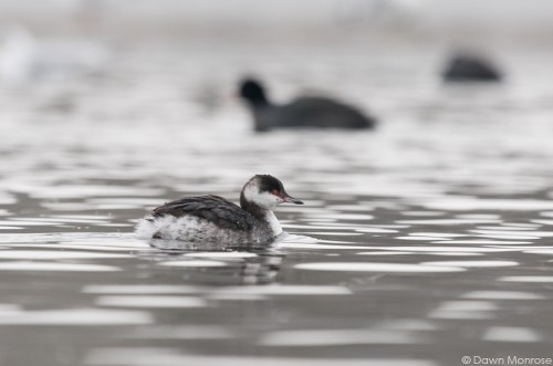 Slavonian Grebe, Podiceps auritus, Norfolk, Winter, UK
