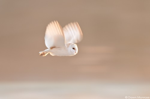 Barn owl, Tyto alba, in flight at dawn, Norfolk, February