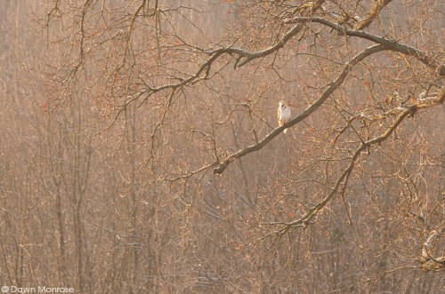 Barn owl, Tyto alba, perched in tree at dawn, Norfolk, February