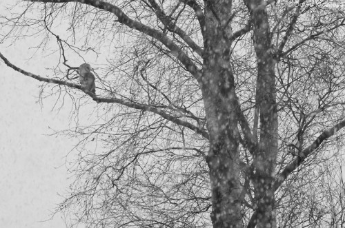 Barn owl, Tyto alba, perched in tree in falling snow, Norfolk, February