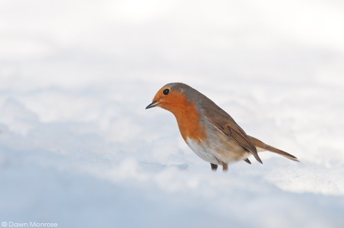 Robin, Erithacus rubecula, in snow, Norfolk, Winter