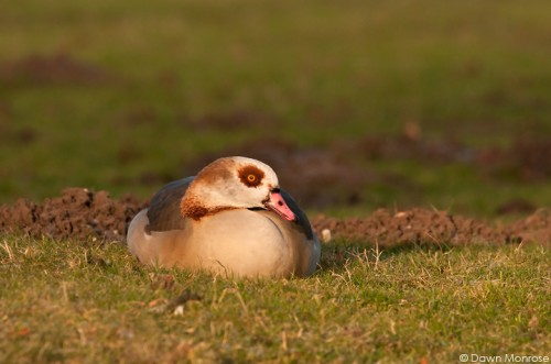 Egyptian Goose, Alopochen aegyptiacus, resting on river bank, Norfolk