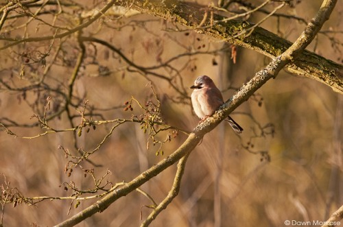 Jay, Garrulus glandarius, perched in tree in sunlight, Norfolk