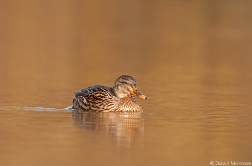 Mallard, Anas platyrhynchos, female, on water in golden sunlight, Norfolk,
