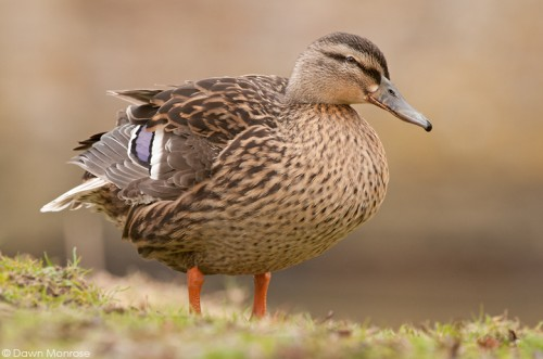 Mallard, Anas platyrhynchos, female, duck, standing on riverbank, Norfolk,