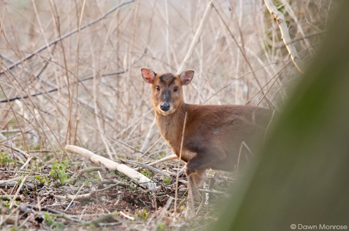 Muntjac deer, Muntiacus reevesi, in undergrowth, Norfolk