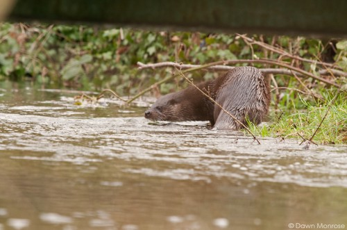 European otter, lutra lutra, on river bank under bridge, Norfolk,