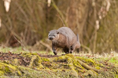 Otter, lutra lutra, female running along riverbank, Norfolk, March
