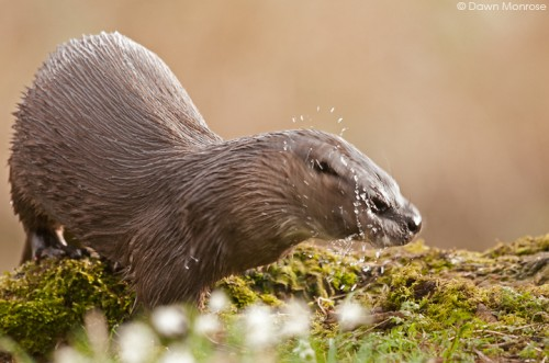 Otter, lutra lutra, female shaking head, water drops, Norfolk, March