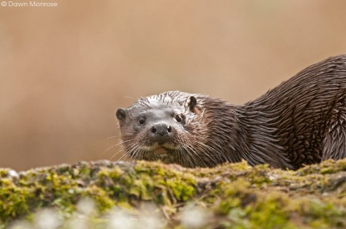 Otter, lutra lutra, female on riverbank, Norfolk, March