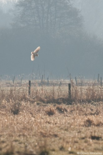 Barn owl, Tyto alba, in flight, hunting at first light, Norfolk, April
