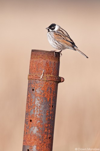 Reed bunting, Emberiza schoeniclus, male perched on metal pipe, Norfolk, April