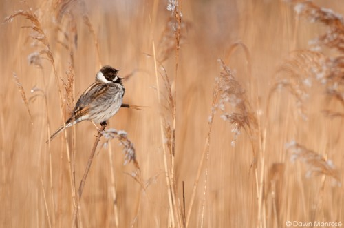 Reed bunting, Emberiza schoeniclus, male singing in reedbed, Norfolk, April