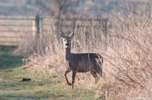 Roe deer, Capreolu capreolus, female