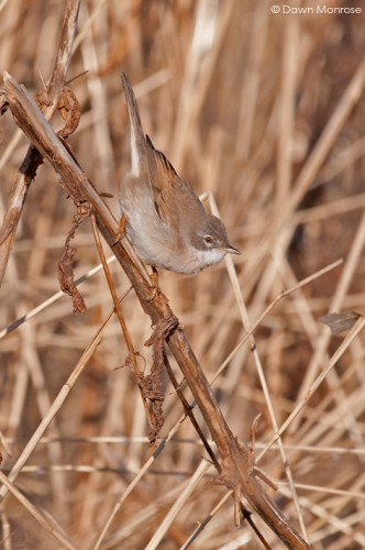 Whitethroat, Sylvia communis, perched on dry stem, Norfolk, April