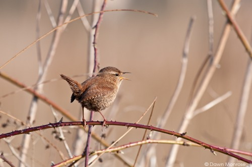 Wren, Troglodytes troglodytes, perched on bramble, singing, Norfolk, April