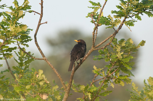 Blackbird, Turdus merula, perched in oak tree, summer, Norfolk, July