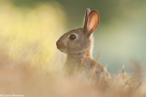 Rabbit, Oryctolagus cuniculus, young, summer, Norfolk, July