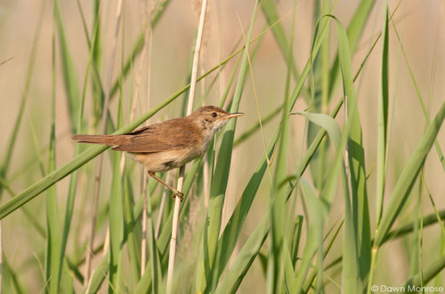 Reed warbler, Acrocephalus scirpaceus, perched on reed, summer, Norfolk, July.