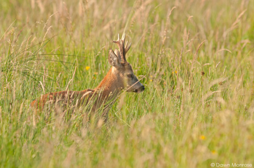 Roe deer, Capreolus capreolus, male, buck, in long grass, summer, Norfolk, July