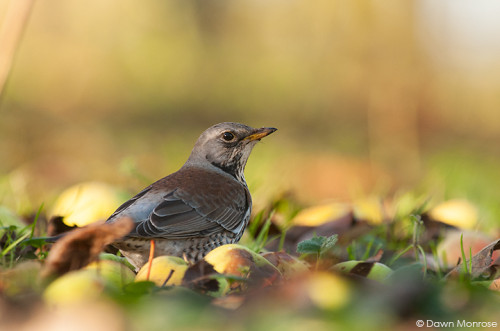 Fieldfare, Turdus pilaris, in apple orchard, Norfolk, Winter