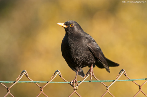 Blackbird, Turdus merula, male perched on garden fence, Norfolk, UK