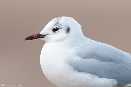 Black headed gull, Chroicocephalus ridibundus, close up, coast, Norfolk, UK