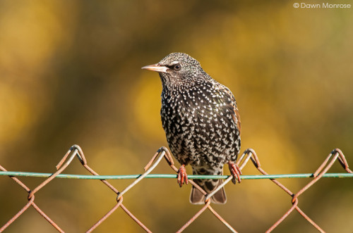 Starling, Sturnus vulgaris, perched on wire fence, Norfolk, Winter plumage, UK