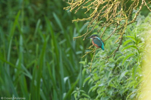 Kingfisher, Alcedo atthis, male perched on riverbank, Suffolk, May