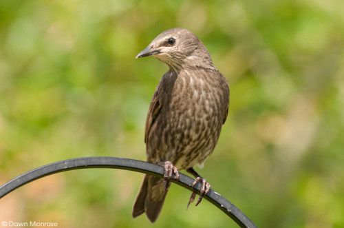 Starling, Sturnus vulgaris, juvenile perched on bird feeder, Norfolk, May