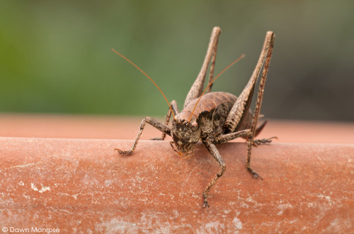 Darkbushcricket280914DM0860
