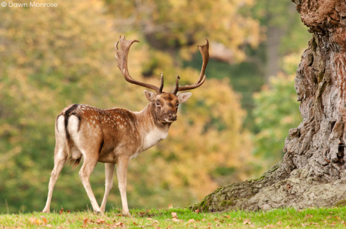 Fallow deer, Dama dama, Buck under oak tree, Autumn, October, Suffolk