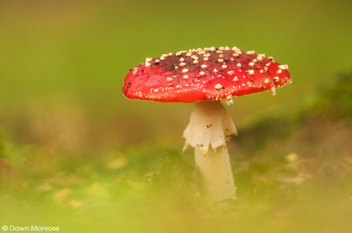Fly agaric, Amanita muscaria, in woodland, October, Norfolk