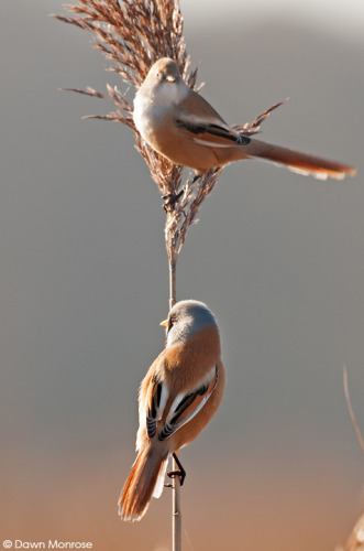 Beardedtit061214DM1895