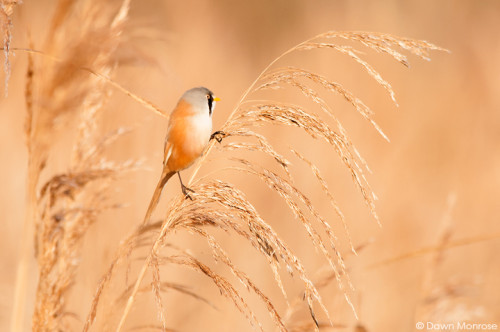 Beardedtit291214DM2492