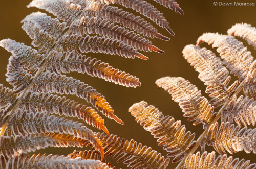 Bracken, Pteridium aquilinum, covered in frost, Winter, December, Suffolk